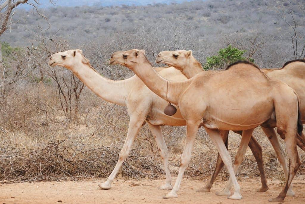 Kamelkauf