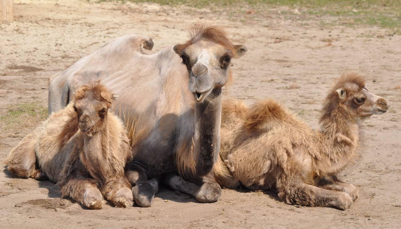 kamelmilchseife